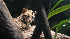 Another daydreamer, ocelot by Skrewtape